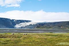 Schafe (~janne) Tags: kamera fauna säugetier eis umwelt langjökull europa island berge kjalvegur gletscher schaf natur e520 glacier icland tier animal environment europe nature olympus sheep