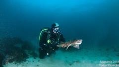 DUW_2437 (Volker Vierecke) Tags: australia bicheno tasmansea tasmania tauchen underwater