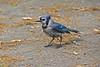 DSC_6050B (The Real Maverick) Tags: highpark torontoparks toronto ontario canada outdoors spring nikon bluejay