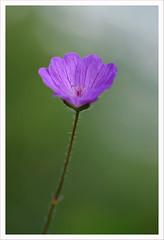 Fiore 244 (Outlaw Pete 65) Tags: macro closeup fiore flower colori colours viola purple verde green natura nature nikond600 sigma105mm collebeato lombardia italia