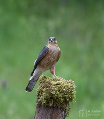 Male Sparrowhawk (mikedenton19) Tags: sparrowhawk accipiter nisus accipiternisus male bird nature wildlife birdofprey raptor hawk scottishphotographyhides scotland