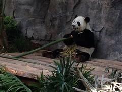 Hungry Panda (Mr. Happy Face - Peace :)) Tags: panda yyc bear art2018 zoo