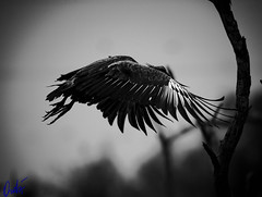 "Chajá (Chauna torquata) en vuelo (wedoph) Tags: monochrome ""blackwhite"" 2018 argentina formosa nikon fauna 500 f4 nikkor aves animal planet"