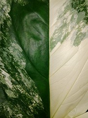 La belleza de las hojas...  ( 1 de 2 ) (Ana_1965_2010) Tags: fotografiadenaturaleza naturaleza nature natura natur flora hoja hojas leaves macro macrofotografia makro makrofotografia makrofotografie closeup macronature verde green vert grün textura texturas texture textures botanica botanical naturephotography naturephoto natureshot artofnature flickr anawilli flickraddict leaflove leaveslove leaf
