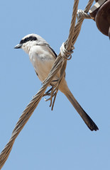 Long-tailed Shrike at Ranthambore S24A9703 (grebberg) Tags: ranthambore bird rajasthan india march 2018 longtailedshrike laniusschach lanius shrike