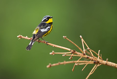 Magnolia Warbler (Randy Lowden) Tags: magnoliawarbler warbler randylowden canon