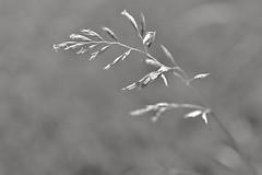 Search for ... /// auf der Suche nach .... (Pixelchen1) Tags: nikon5500 nikonafs35mm114g gras blackwhite schwarzweis bokeh snapseed fineart structure