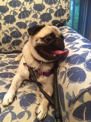 Momo is a little excited to be at the beach house (wombatarama) Tags: pug