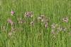 Ragged Robin (Eskling) Tags: ragged robin slievenacloy nature reserve flora green flowers pink grass belfast hills lychnis floscuculi silene
