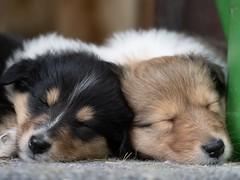 (JAMADELILA) Tags: panasoniclumixg81 60mm macro olympus newborn tierbaby baby dog animal puppy