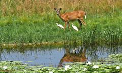 White-tail Deer (Suzanham) Tags: whitetaildeer egret cattleegret reflection waterlily pond animal mammal grass water field nature wildlife noxubeewildliferefuge mississippi deer fantasticnature
