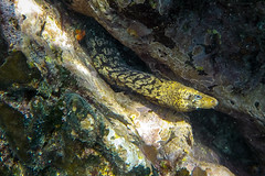 Galapagos snake eel-0318 (kasiahalka) Tags: animals beach espanolaisland galapagos galapagosislands gardnerbay mantaray nature ocean outdoor pacificocean sand schooloffish sealion sealions starfish travel water snorkeling eel