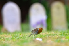 Who says you need a long lens for bird photography (Paul Wrights Reserved) Tags: robin robins nature cemetry graveyard gravestones bokeh bokehphotography looking lookingatthecamera bird birding birdphotography birds birdwatching beautiful