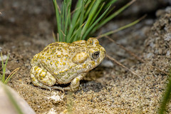 ARTO (Z. Abbey) Tags: wildlife sespewilderness lospadresnationalforest lpnf nighttime nightphotography nightshots endangeredspecies toads arroyotoad california canon canon80d canoneos80d 80d eos