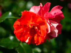 A Super Wow and a Topaz rose (Raoul Pop) Tags: garden morning spring flowers plants pair superwowrose home topazrose roses