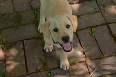 Mom & Dad's New Baby (BKHagar *Kim*) Tags: bkhagar dog pup puppy dads momdads pet yellowlab lab labrador canine patio brick dawg happydog happy cane