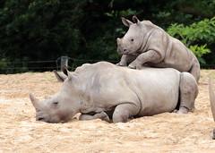 White Rhino Burgerszoo JN6A6449 (j.a.kok) Tags: rhino rhinoceros rhinocerosunicornis whiterhino witteneushoorn neushoorn breedlipneushoorn burgerszoo animal africa afrika mammal zoogdier dier herbivore