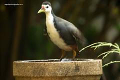 IMG_5603 White-breasted Waterhen (Amaurornis phoenicurus) (vlupadya) Tags: greatnature animal aves fauna indianbirds whitebreasted waterhen amaurornis kundapura karnataka