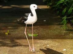 Black-winged Stilt (Uhlenhorst) Tags: 2007 australia australien animals tiere travel reisen voegel birds