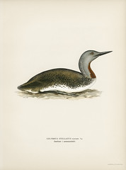 Red-throated loon (Colymbus Stellatus) illustrated by the von Wright brothers. Digitally enhanced from our own 1929 folio version of Svenska Fåglar Efter Naturen Och Pa Sten Ritade. (Free Public Domain Illustrations by rawpixel) Tags: photo publicdomain otherkeywords abstract america ancient animal antique artwork bird cc0 colymbusstellatusredthroatedloon creativecommon0 creativecommons0 drawing drawn duck handdrawn illustrated illustration loon name northamerica old painting sketch style texture vintage vonwright vonwrightbrothers wild wildlife