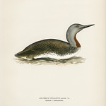 Red-throated loon (Colymbus Stellatus) illustrated by the von Wright brothers. Digitally enhanced from our own 1929 folio version of Svenska Fåglar Efter Naturen Och Pa Sten Ritade. thumbnail