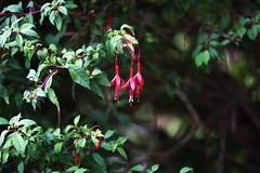 DSC_0371 Fuchsia (PeaTJay) Tags: nikond750 sigma reading lowerearley berkshire macro micro closeups gardens outdoors nature flora fauna plants flowers fuchsia