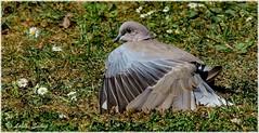 Sun Worshiper VI (lukiassaikul) Tags: wildlifephotography wildanimals wildbirds birds collareddove nature gardenbirds sunny sunshine sunbathing
