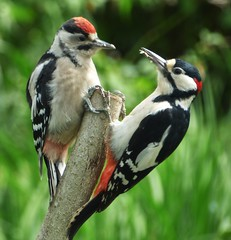 Breakfast @ Braeside..x (Lisa@Lethen) Tags: greater spotted woodpecker chick bird nature wildlife spring feeding male