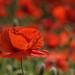 one in a crowd (WernerKrause) Tags: cwwwwernerkrauseeu 2018 mohn poppies poppyfield blumen flowers sommer summer red rot explore251