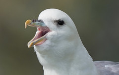 Fulmar    Faroe Islands (dr brewbottle) Tags: fulmar faroeislands seabird