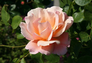 Floribundarose 'Women's Choice'