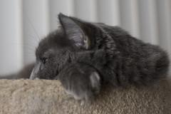 Camera-shy again -[ Happy Caturday ]- (Carbon Arc) Tags: happycaturday everyday cat feline furball rest lay sleep fluffball