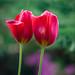 Two [Explored] (zankoutim) Tags: vancouverisland flowers spring garden parksville britishcolumbia