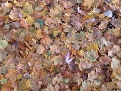 11-11-17 Dayton 08 leaves (Chicagoan in Ohio) Tags: dayton clouds sun sunhalo leaves fallcolor