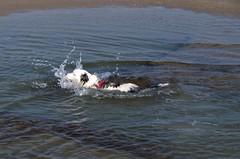 Splash (Explored 31-05-18) (Sundornvic) Tags: water swim puppy dog collie welsh tribluemerle luna pet beach seaside