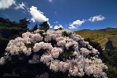 高山上的繡球 (風景獵人) Tags: taiwan 台灣 風景 風景獵人 landscape nantou 杜鵑 南投 blossom 高山 mountain 合歡山 hehuan rhododendron