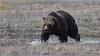 Splish splash dash (Hammerchewer) Tags: grizzlybear bear boar male wildlife outdoor yellowstone