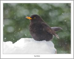 Blackbird in Snow Storm (flatfoot471) Tags: 2018 bearsden bird blackbird eastdunbartonshire february nature normal scotland unitedkingdom winter gbr