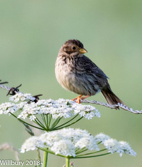 Corn bunting (Willbury not about much.) Tags: canon corn birds bunting outdoor oxfordshire perched portrait pretty