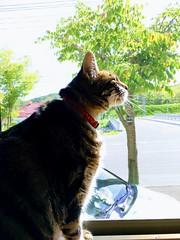 Enjoying the Breeze (sjrankin) Tags: 1june2018 edited autogenerated animal cat tigger autoprocessed window screen breeze sun sunlight sunbeam trees