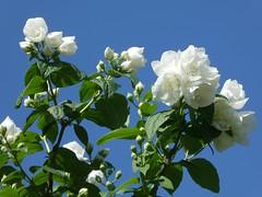 Jasmine (Frans Schmit) Tags: mygarden mijntuin wonderfulworldofflowers flowers