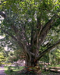 "Wat Jed Yot, วัดเจ็ดยอด (ol'pete) Tags: วัดเจ็ดยอด พุทธศาสนิชน buddhist เชียงใหม่ chiangmai ประเทศไทย thailand วัด wat temple ""watjedyot"" ""canoneos350d"" ""efs1855mm"" earthasia"