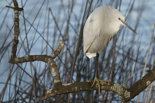 Egret framed
