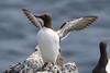 Guillemot (Dougie Edmond) Tags: cellardyke scotland unitedkingdom gb bird birds guillemot seabird sea ocean firth forth anstruther