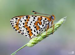 Miki ojos azules (JoseQ.) Tags: macro macrofotografia mariposa insecto bicho animal alas volar colores campo primavera belleza airelibre olympus
