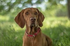 My dogs - Hungarian vizsla dogs (Torok_Bea) Tags: dogs hunde vizsla hungarianvizsla mydog lovedog home bokeh carlzeissplanar hungariandogs nikon nikond5500