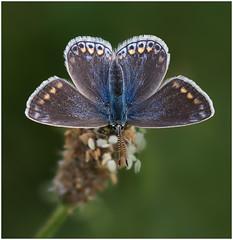 Common Blue butterfly (f) (Antony Ward) Tags: