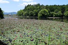 Pink water lilies in a large pond (Greg Peterson in Japan) Tags: koka flowers 滋賀県 shiga 花 japan 植物 甲賀市 plants shigaprefecture