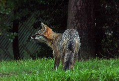 Always Alert (ChicaD58) Tags: dscf4441a ox grayfox female hungry newvisitor backyard spring
