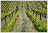 Rheinhessen (hjhoeber2) Tags: batis28135 zeiss vineyards sonnar aposonnar 200mm 135mm bokeh sony a6000 germany deutschland rheinhessen agriculture dandelions rebstock weinrank